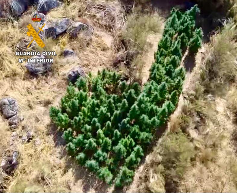 La Guardia Civil detiene a un vecino de Valencia de Alcántara por tener en su finca 83 plantas de marihuana de gran tamaño