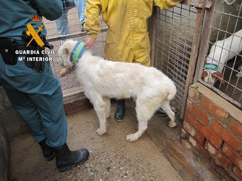 La guardia civil detiene a una personas e investiga a otras tres por maltrato animal, por cortar la cola y las orejas a 107 perros